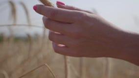 Nahaufnahmehand der sorglosen Frau gelbe Weizenährestellung auf der Feldnahaufnahme berührend Verbindung mit Natur stock video
