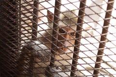 Nahaufnahmekinder albern im Käfig herum, Augen sind traurig, Mangel an Freiheit, armes Tier hinter Metallstangen in der Gefangens Stockfotos