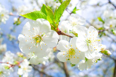 Nahaufnahmekirschblumen Stockfotos