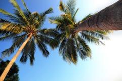 Nahaufnahmekokosnuss-Palmen von Stamm zu Treetop Stockfoto