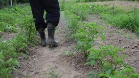 Nahaufnahmelandwirtmann-Sprayschädlingsbekämpfungsmittel auf Kartoffelpflanzen kämpfen Schädlinge stock footage
