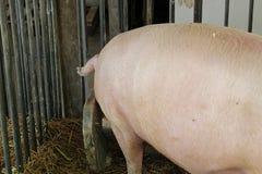 Nahaufnahmelende, -bein, -bauch und -endstück eines Schweins Lizenzfreie Stockbilder