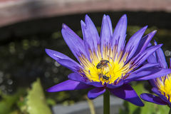 Nahaufnahmelotos-Bienenschwarm Lizenzfreie Stockfotografie