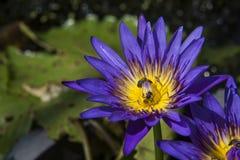 Nahaufnahmelotos-Bienenschwarm Stockfoto