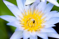 Nahaufnahmelotosblume mit Bienenschwarm stockfoto