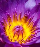Nahaufnahmelotosblumen-Seerose Nelumbo nucifera Stockbild