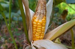 Nahaufnahmemais auf dem Stiel auf dem Maisgebiet, stockfotografie