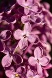 Nahaufnahmemakro der purpurroten lila Blume auf der sonnigen Helligkeit Stockbild