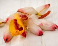 Nahaufnahmemakro der veränderten Shell Ginger Alpinia-zerumbet Blüte und Blüte 'Variegata ' lizenzfreie stockfotografie