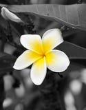 Nahaufnahmemakro des gelben und weißen Frangipani flowe Lizenzfreies Stockbild