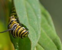Nahaufnahmemakro des Monarchgleiskettenfahrzeugs eine Kleinigkeit essend auf Milkweedblättern - in Minnesota lizenzfreie stockfotos