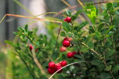 Nahaufnahmemakro von roten bereiten Preiselbeeren in den grünen Blättern lizenzfreie stockbilder