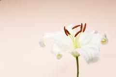 Nahaufnahmemakroschuß der weißen Lilie im Studio auf Pastellhintergrund Stockfotografie