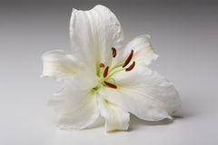 Nahaufnahmemakroschuß der weißen Lilie im Studio auf Pastellhintergrund Stockfotos