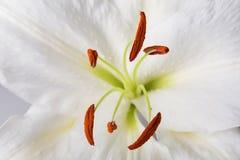 Nahaufnahmemakroschuß der weißen Lilie im Studio auf Pastellhintergrund Stockfoto