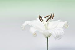 Nahaufnahmemakroschuß der weißen Lilie im Studio auf Pastellhintergrundde Lizenzfreie Stockfotografie