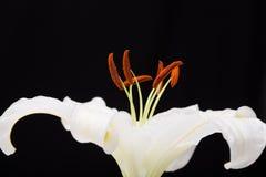 Nahaufnahmemakroschuß der weißen Lilie im Studio auf schwarzem Hintergrund Stockfotos