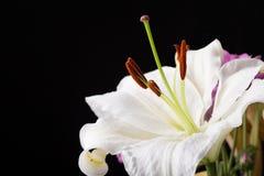 Nahaufnahmemakroschuß der weißen Lilie im Studio auf schwarzem Hintergrund Lizenzfreies Stockfoto