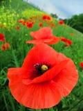 Nahaufnahmemohnblumen gegen das grüne Feld lizenzfreie stockfotos