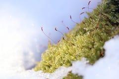 Nahaufnahmemoos mit Schnee stockfoto