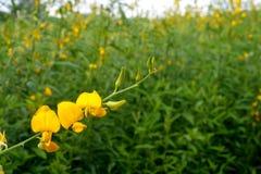 Nahaufnahmen des Blumen Crotalaria-Gelbhintergrundes Lizenzfreie Stockfotos