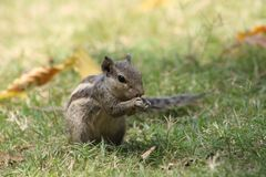 Nahaufnahmen des Eichhörnchens, das etwas hat lizenzfreies stockbild