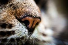 Nahaufnahmenase der Katze der Maine Coon-Schwarzgetigerten katze Makro Stockfotos