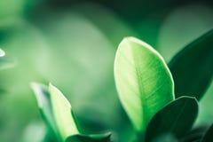Nahaufnahmenaturansicht des dunkelgrünen Blattes auf Sonnenlicht Stockbild
