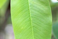 Nahaufnahmenaturansicht des grünen Blattes mit Kopienraum mit als natürliches Grün des Hintergrundes lizenzfreie stockbilder