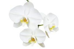 Nahaufnahmeniederlassung mit drei empfindlichen Orchideen Stockfotografie
