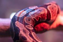 Nahaufnahmeperspektiventrieb einer Pythonschlange unter Rosa und rotem Licht lizenzfreies stockbild
