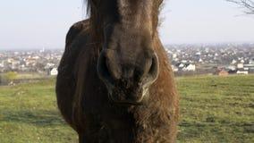 Nahaufnahmepferdekauen Pferdeportrait wird auf einer Wiese im Dorf weiden lassen stock footage