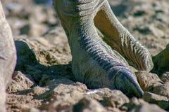Nahaufnahmephotographie eines Straußfußes stockbild