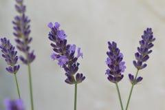Nahaufnahmephotographie von purpurroten Lavendelblumen stockbilder