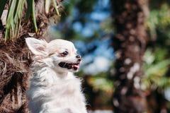 Nahaufnahmeporträt des netten lächelnden Chihuahuahundes am heißen Sommertag draußen Kopieren Sie Platz stockbilder