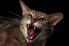 Nahaufnahmeporträt aggressive orientalische Cat Hisses in camera, schwärzen lokalisiert Stockfotos