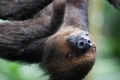 Nahaufnahmeporträt der braunen Pelzträgheit mit gelben Augen und hellen einer Nase, die umgedreht schaut Junger Schimpanse, der a lizenzfreie stockfotografie