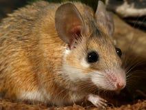 Nahaufnahmeporträt der jungen weiblichen Maus Lizenzfreie Stockbilder