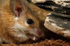 Nahaufnahmeporträt der jungen weiblichen stacheligen Maus isst Lizenzfreie Stockfotografie