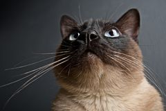 Nahaufnahmeporträt der siamesischen Katze lizenzfreie stockfotografie