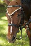 Nahaufnahmeporträt des braunen Pferds Stockfoto