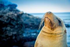 Nahaufnahmeporträt des Gesichtes Galapagos des Seelöwes Lizenzfreies Stockbild