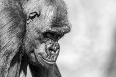Nahaufnahmeporträt des Gorillas unten schauend lizenzfreies stockfoto