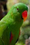 Nahaufnahmeporträt des grünen Papageien Lizenzfreies Stockfoto