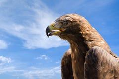 Nahaufnahmeporträt des großen Steinadlers über tiefem blauem Himmel Stockfotos