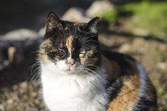 Nahaufnahmeporträt des Kopfes einer roten und weißen Katze mit schönen bernsteinfarbigen Augen/Makro stockbild