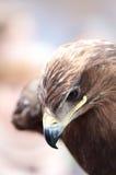 Nahaufnahmeporträt des Kopfes eines Falken im Profil Lizenzfreies Stockbild