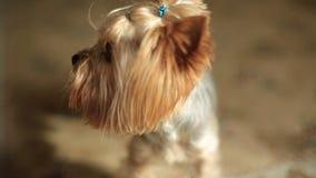 Nahaufnahmeporträt des netten kleinen Yorkshire-Terriers stock video