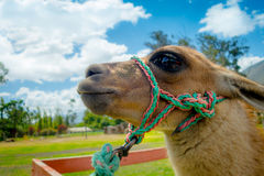 Nahaufnahmeporträt des netten Lamas Lizenzfreie Stockfotos