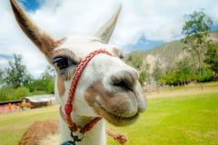 Nahaufnahmeporträt des netten Lamas Stockfotografie